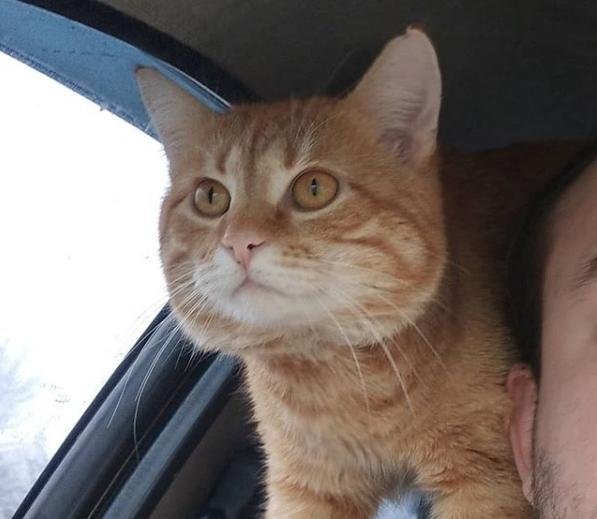 В Харькове рыжий кот работает в такси вместе с хозяином