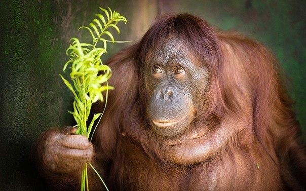 До харківського зоопарку привезли двох орангутангів з Франції
