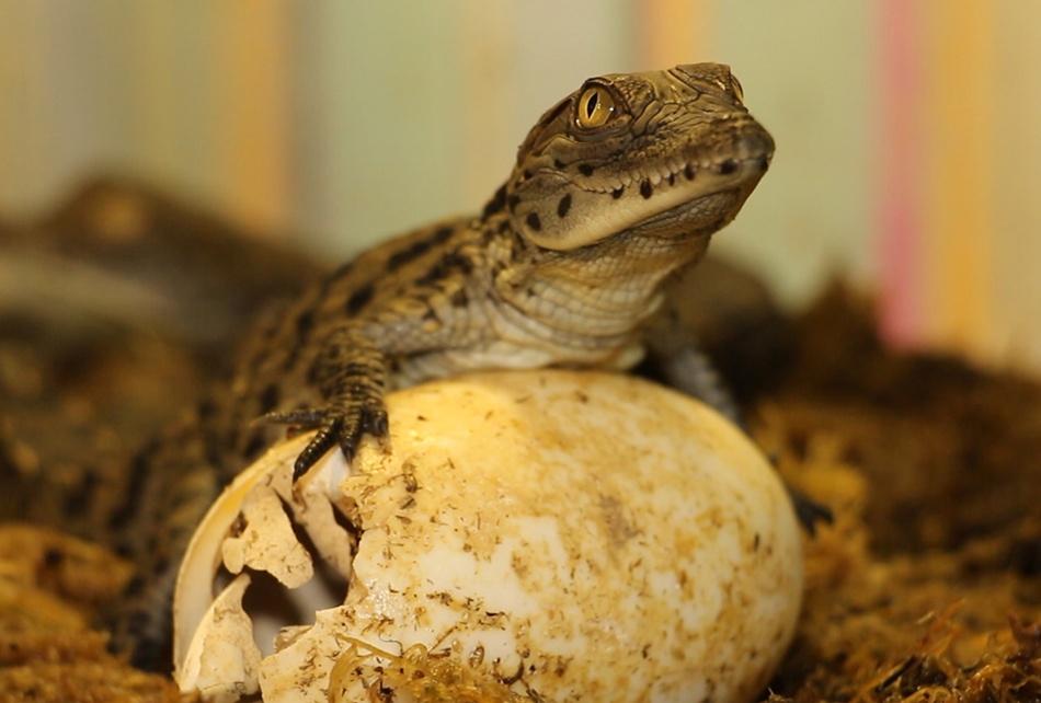 В харьковском зоопарке родились крокодилы