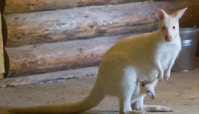 В харьковском экопарке появился на свет кенгуру-альбинос