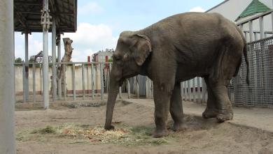Слонихе Тенди из Харьковского зоопарка - 21!