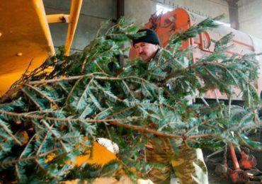 У Києві ще є можливість здати ялинку на переробку: лишився останній тиждень