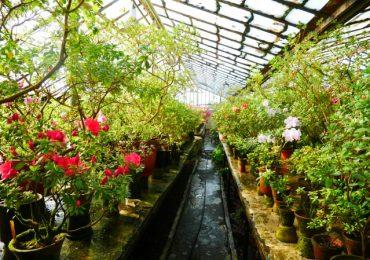 Квіти, фото, насолода: в ботсаду цвітуть камелії та азалії
