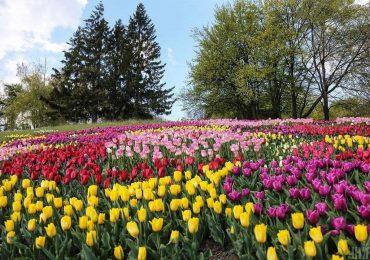 700 тисяч тюльпанів і фотозони. Факти про виставку на Співочому